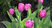 X Międzynarodowe Targi Tulipanów