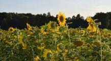Słońca na polach
